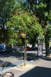 Blasenesche (Koelreuteria paniculata) als Straßenbaum in Pesaro (Italien)
