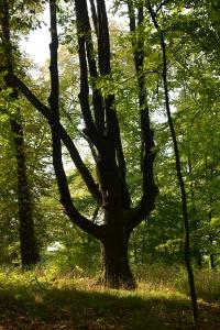 Alt-Eiche,  älter als der Landschaftspark