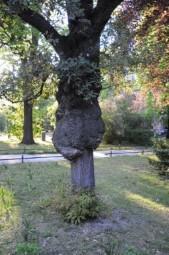Immergrüne Eiche (Quercus × turneri), veredelt